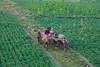 During Dry Season, Some Land Is Farmed Under U Bein's Bridge