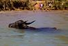 Water Buffalo on a River Feeding Inle Lake