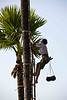 Collecting Palm Sap to Make Palm Sugar