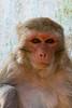 Monkey at Mt. Popa