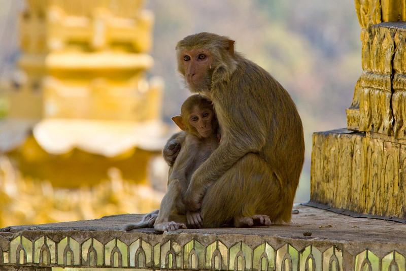 Monkeys at Mt. Popa