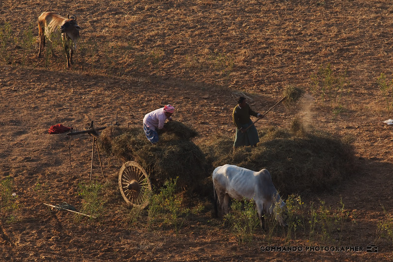 Farmers load their ox cart with straw.