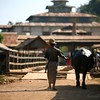 A man walks his water buffalo home.
