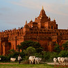 Local farmer herds his animals past one of the ancient temples in Bagan where over 4,000 temples dot the landscape