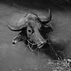 Swimming Buffalo