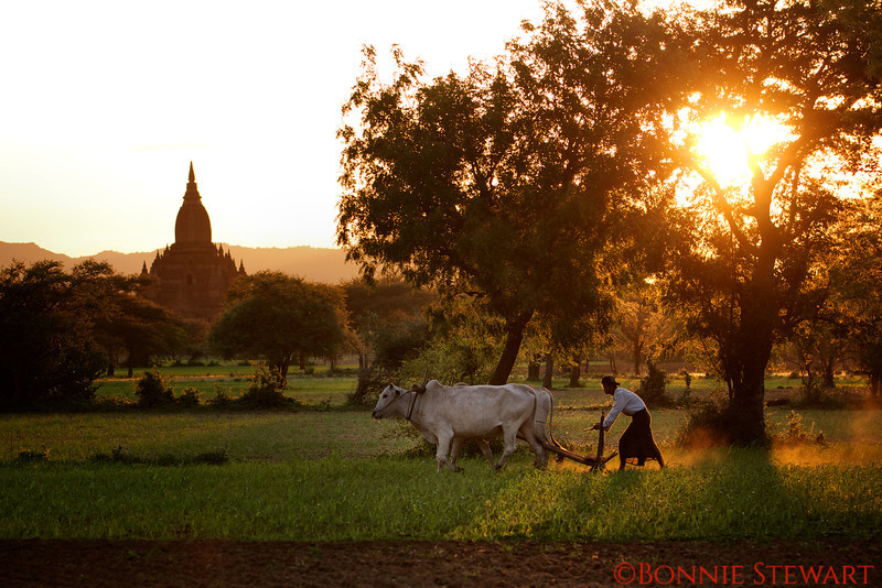 Farmer plows his field among the ancient temples in Bagan