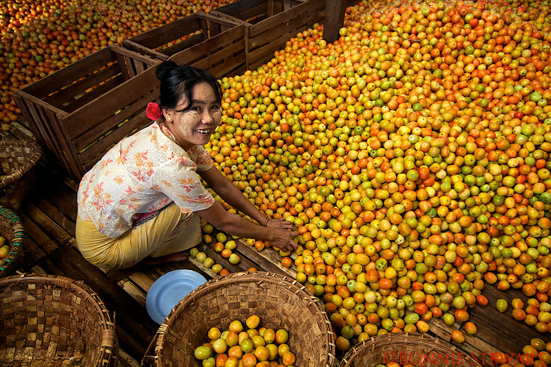 Sorting tomatoes in the market