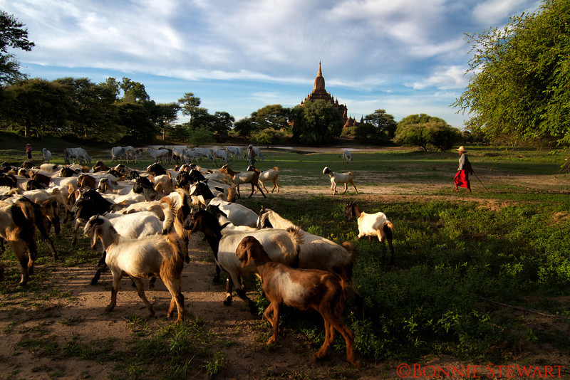 Farmers pass by the ancient temples on their way home with their herds
