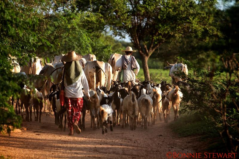 Farmers herd their animals in Bagan