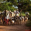 Farmers herd their animals in Bagan