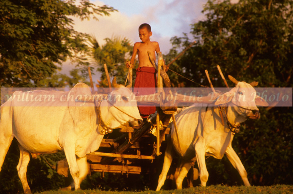 Team of oxen driven by young boy above the banks of the Irrawady River