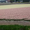 Fields of Hyacinths