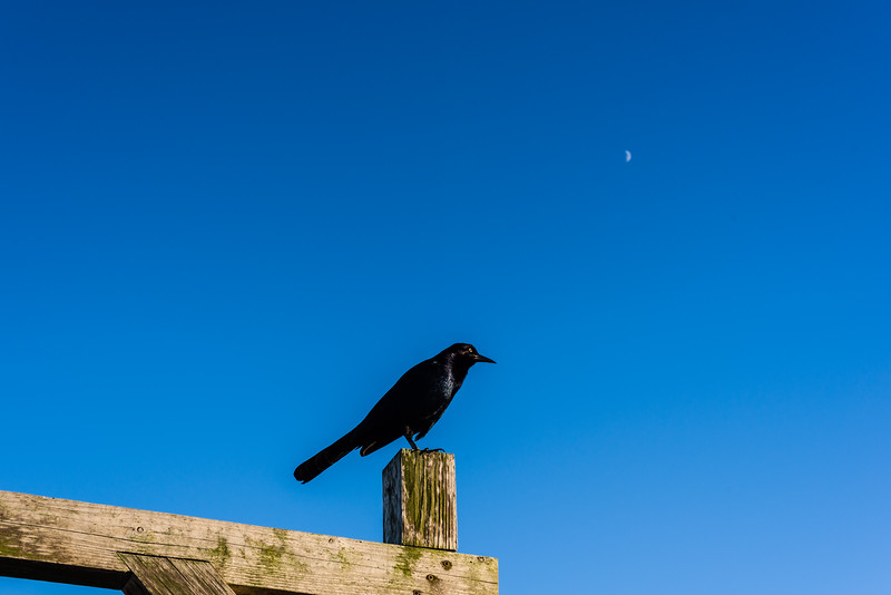 Grackle & Moon