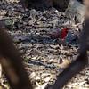 Cardinal, Stephen F. Austin State Park