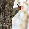 Red Bellied Woodpecker, Stephen F. Austin State Park