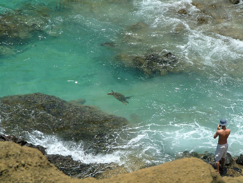 Here is a decent picture of the famous green sea turtle, here on the island of Oahu