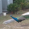 A peacock showed up at our rehearsals.