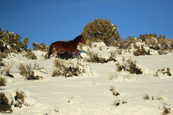 NEVADA Wild Mustang