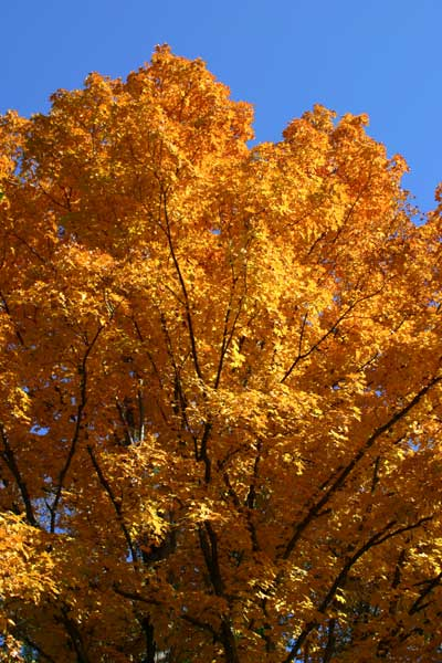 """GOLDEN"" TREE-NH."