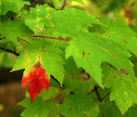 MAPLE LEAF-LAKE CHOCORUA, NH.