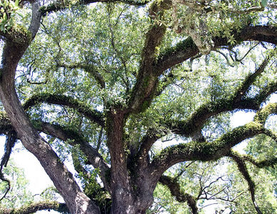 Lafayette -- Cathedral Oak near the Cathedral of St. John the Evangelist. One of the largest trees in the U.S., almost 500 years old.  Diameter is 8.5 feet, circumference is 26.7 feet.  Stands about 125 feet high and spreads about 210 feet