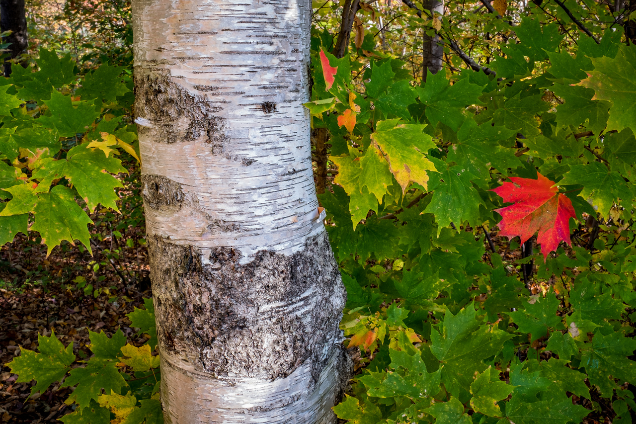 BIRCH TREE AND RED MAPLE LEAF