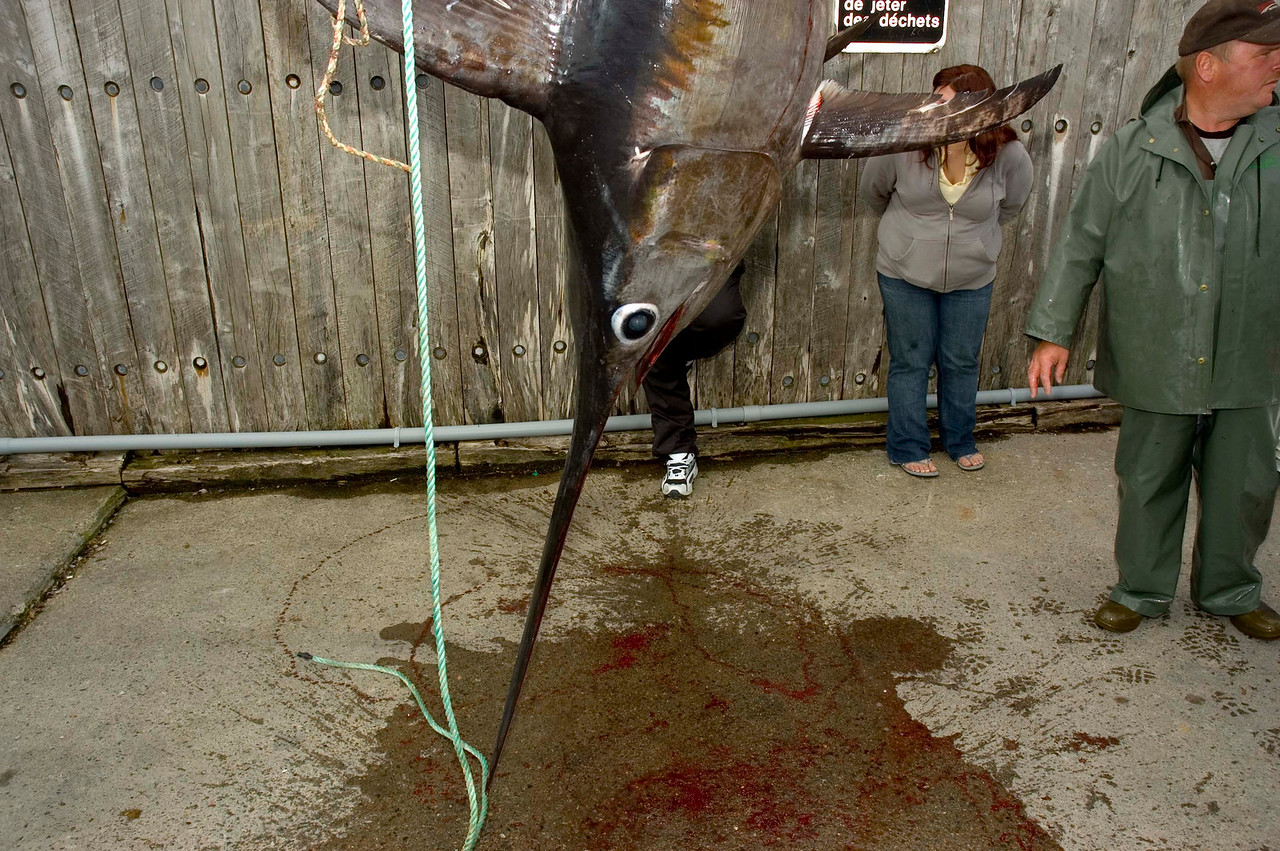Swordfish caught in cod net. First one ever there due to warmer waters.
