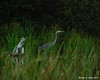 Big Brook Bog<br /> Great Blue Heron