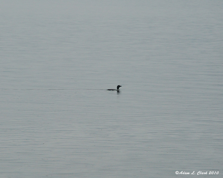 A loon that was swimming by the site