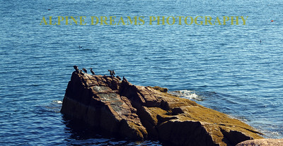 ACADIA ROCKS BIRDS SEA