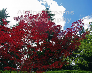 BC RED MAPLE 1