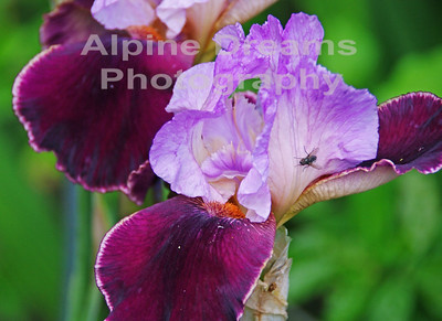 BC FLOWERS PURPLE AND FLY 1
