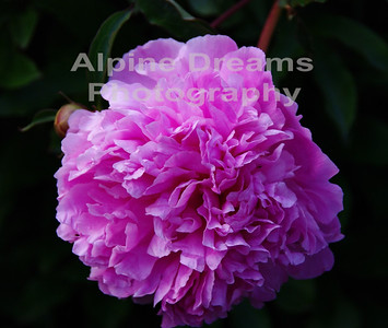 BC FLOWERS PINK 3