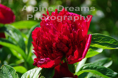 BC FLOWERS RED 3