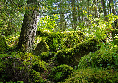 This is probably my favorite rain forest shots in Washington State area.  Remember I did not get to the Olympic Peninsula so I have to go back. This backdrop is huge. That Old Growth tree is Massive and there are so many different moss/ferns type plants I lost count of them.