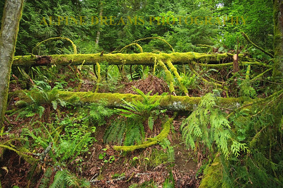 This is one of my rain forest shots. Check out how anything that lays down or falls begins anew with moss and ferns growning out of fallen trees.