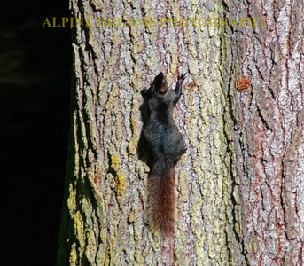 A Black Squirrel with a reddish brown tail near the chuckanut drive.