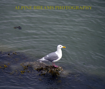 This older Seagull was perched on a submerged tree long enough to grab this shot.