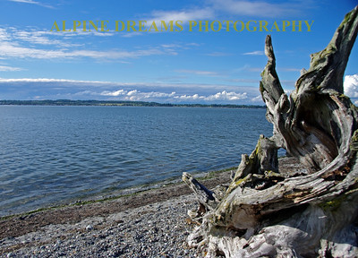 Huge Driftwood sits along the shore along the chuckanut drive. This 20 mile drive is a must in northwest Washington state.