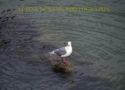 Another angle of the gull walking on water.