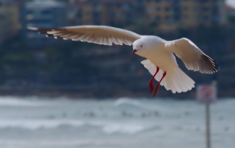 Seagull Manly Beach