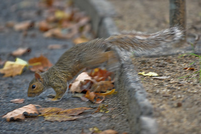 Running squirrel.