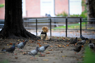 Dog hanging out with the pigeons.