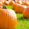 pumpkin picking in Long Island, NY