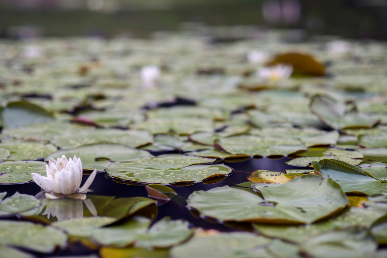 Lily pads, Green-Wood Cemetery