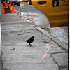 Pigeons hail their own cabs in NYC!