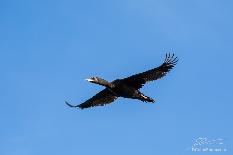 Shag (Cormorant) in flight over the coast of Oamaru New Zealand