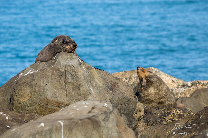 Two Fur Seals laying on the rocks of the New Zealand Coast