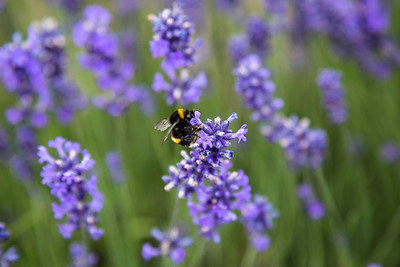 Large Bumblebee on Lavender flower in New Zealand