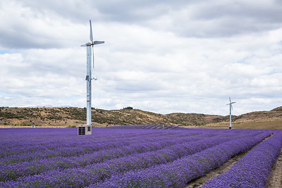 Two windmills over rows of lavender